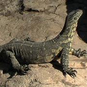 Monitor Lizard - Oudtshoorn Cango Wildlife