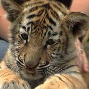 Cango Wildlife Ranch - Tiger Cub