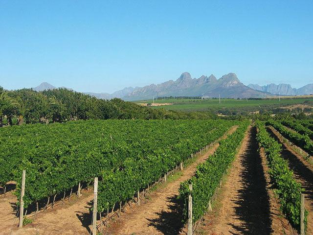 Stellenbosch Vineyard