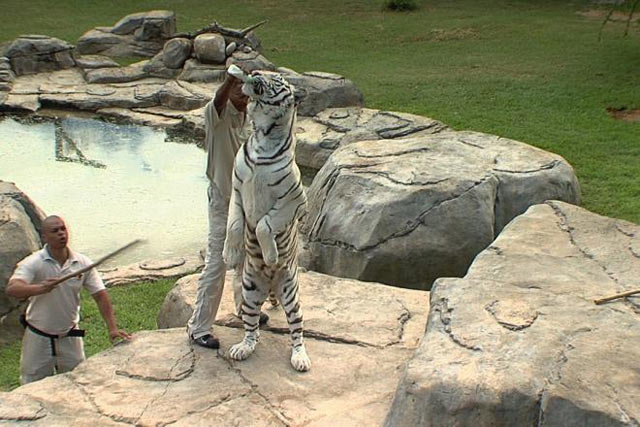 White Tiger - Cango Wildlife Ranch